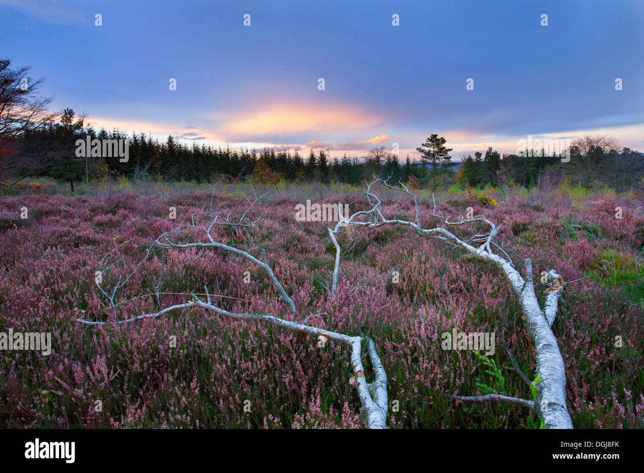 Fallen Silver Birch tree on restored heathland. - Stock Image