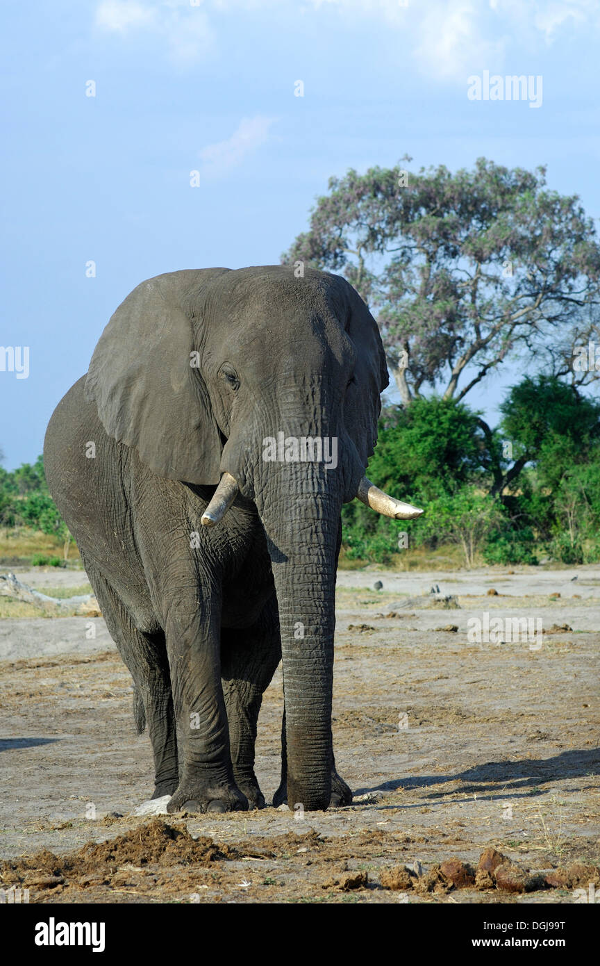 Pregnant African elephant (Loxodonta africana), Savuti National Park, Botswana, Africa - Stock Image
