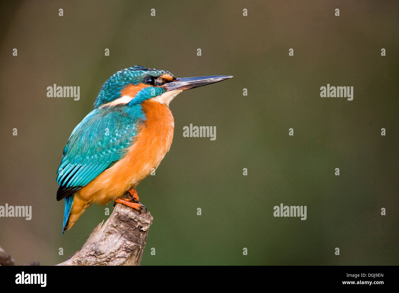 A kingfisher perching on a branch. - Stock Image
