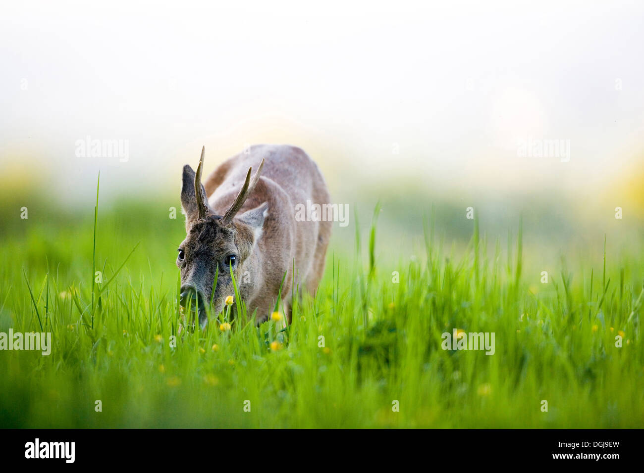 A roe deer munching on fresh pastures. - Stock Image