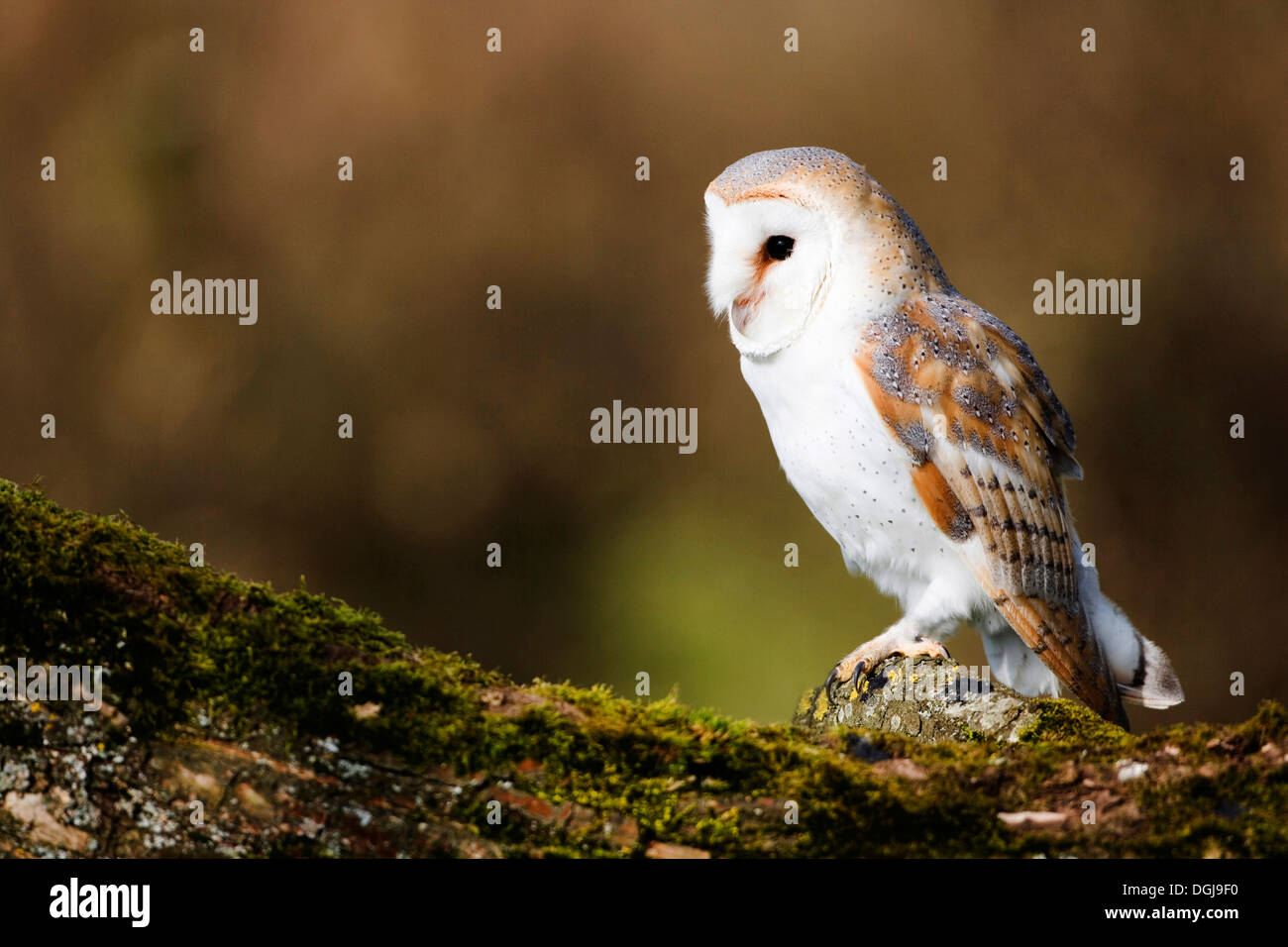 A barn owl perched majestically and silently. - Stock Image