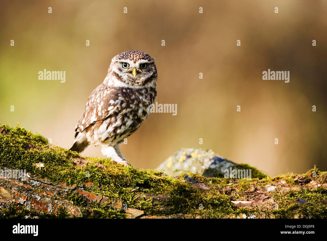 A little owl perched on a mossy bough. - Stock Image