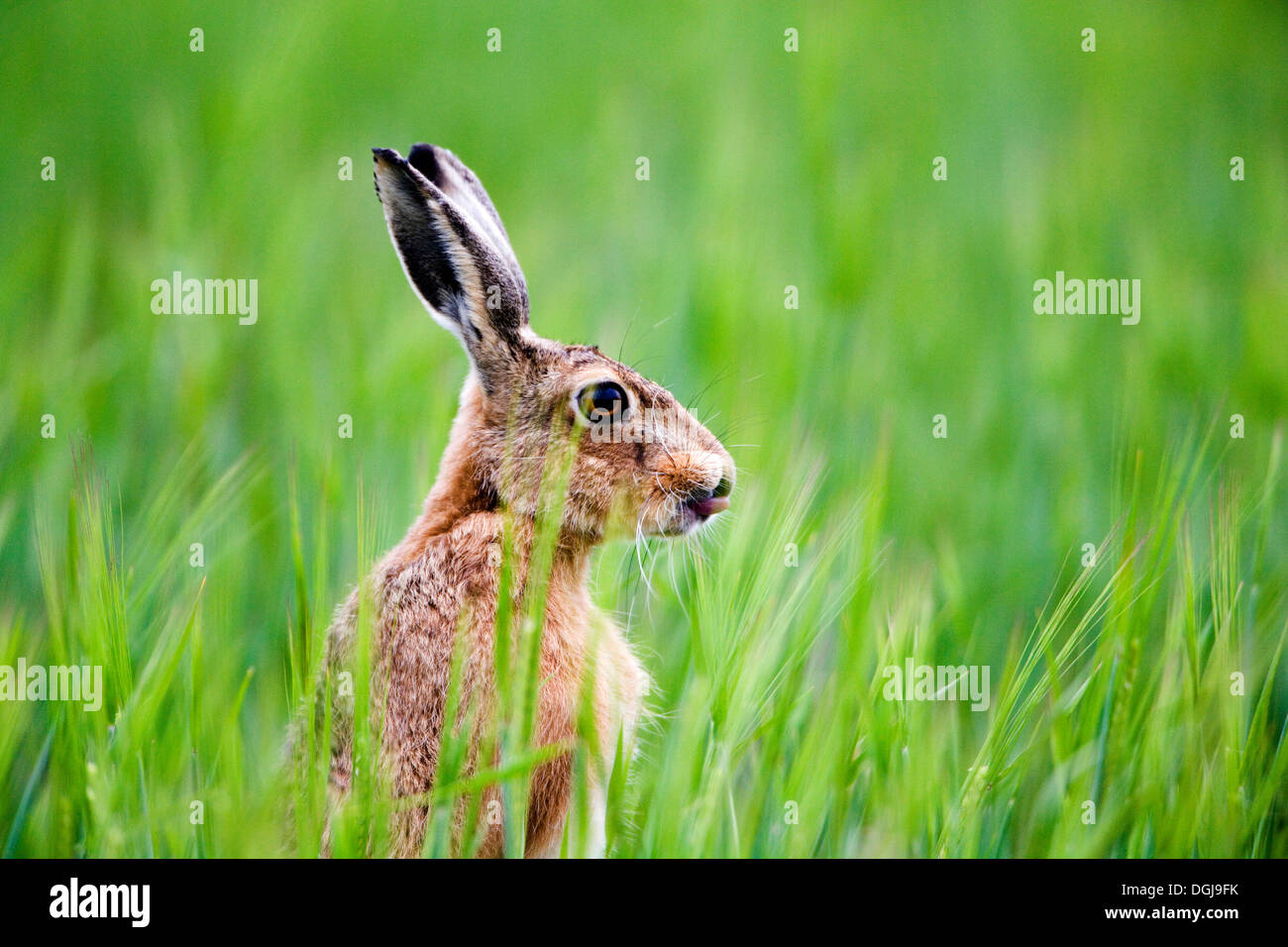 A brown hare in a meadow. - Stock Image