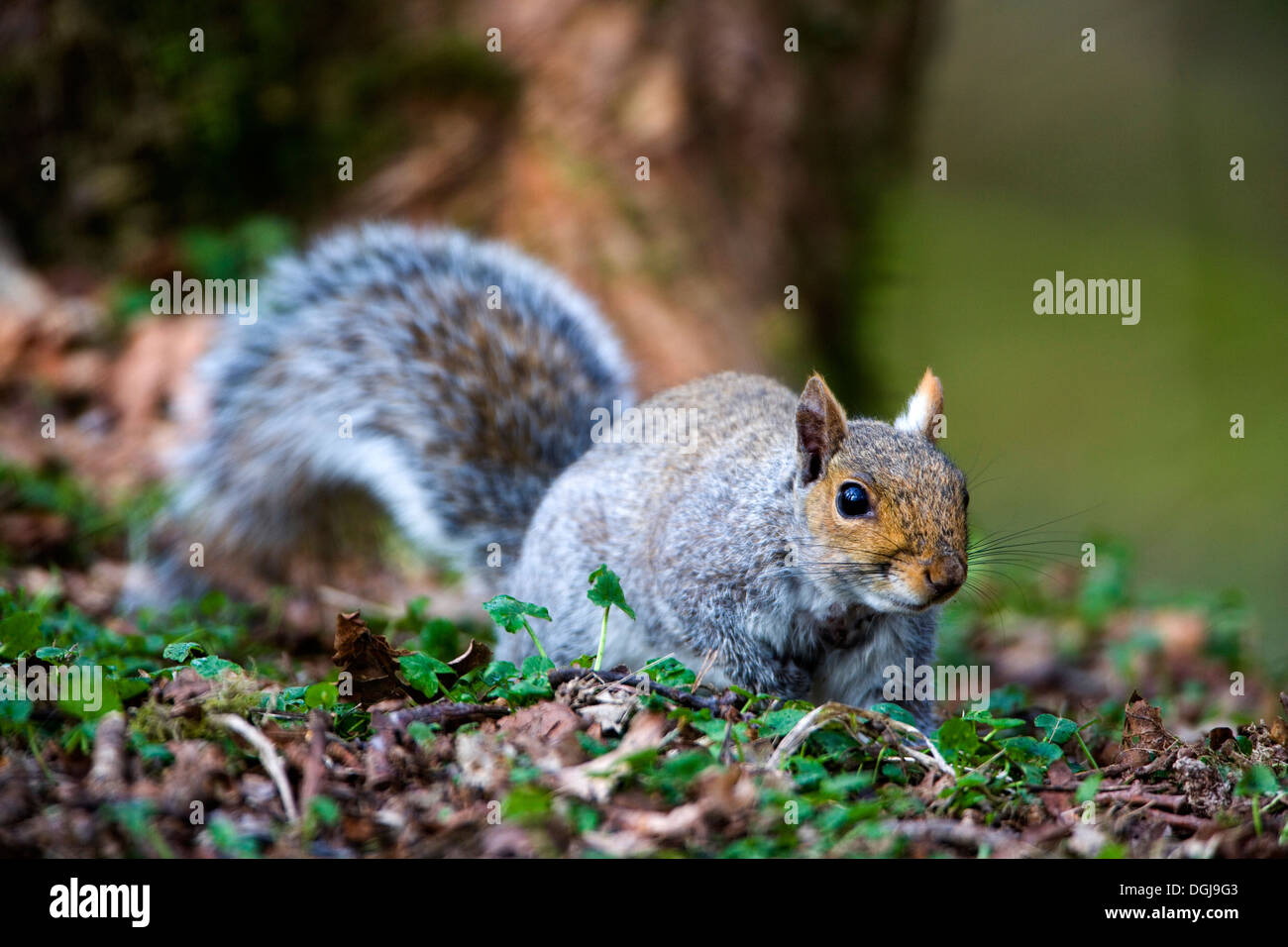A grey squirrel scurries along the woodland floor. - Stock Image