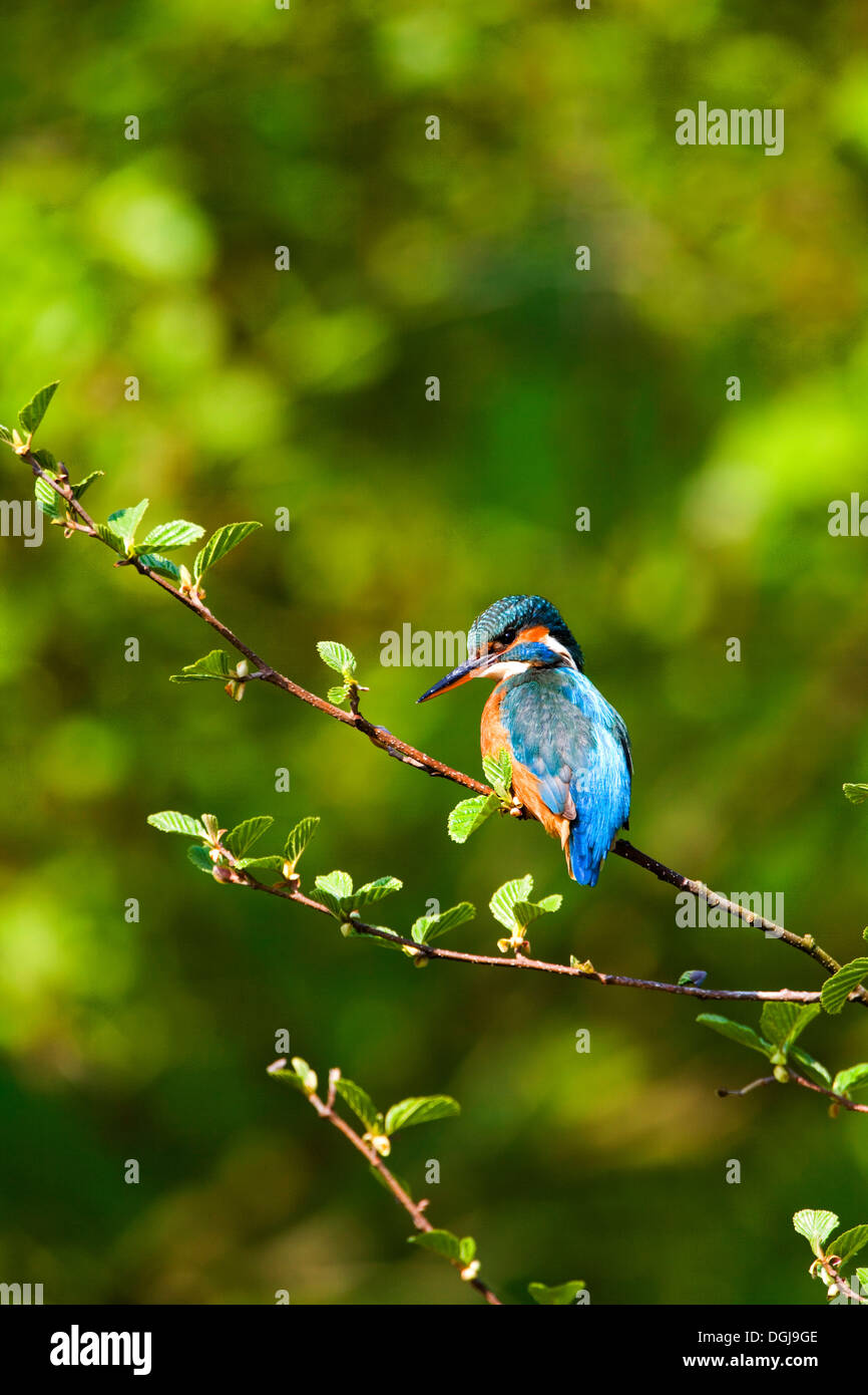 A colourful kingfisher perched on a branch. - Stock Image