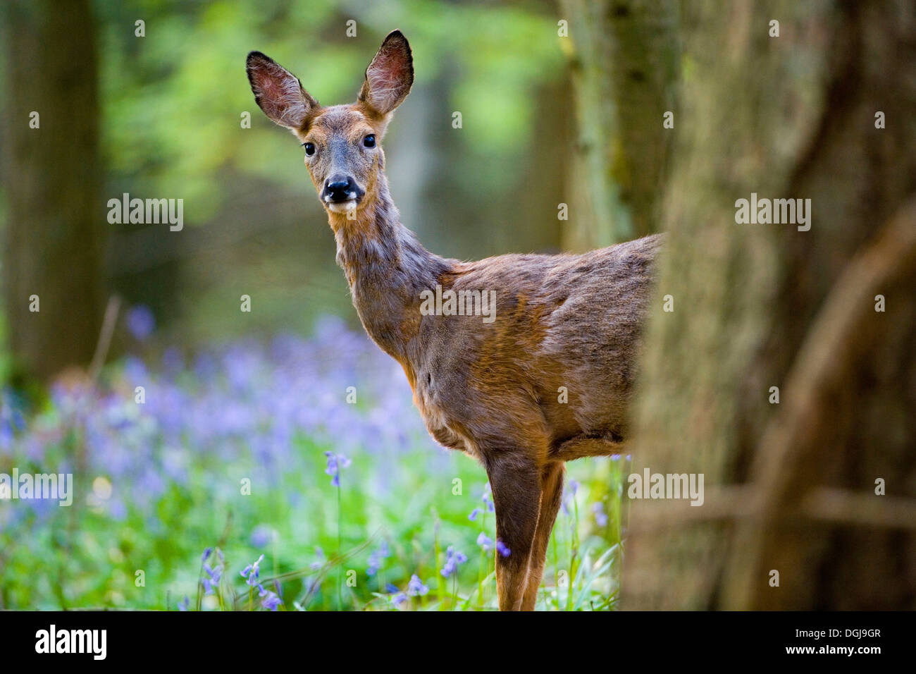 An inquisitive roe deer in a forest of bluebells. - Stock Image