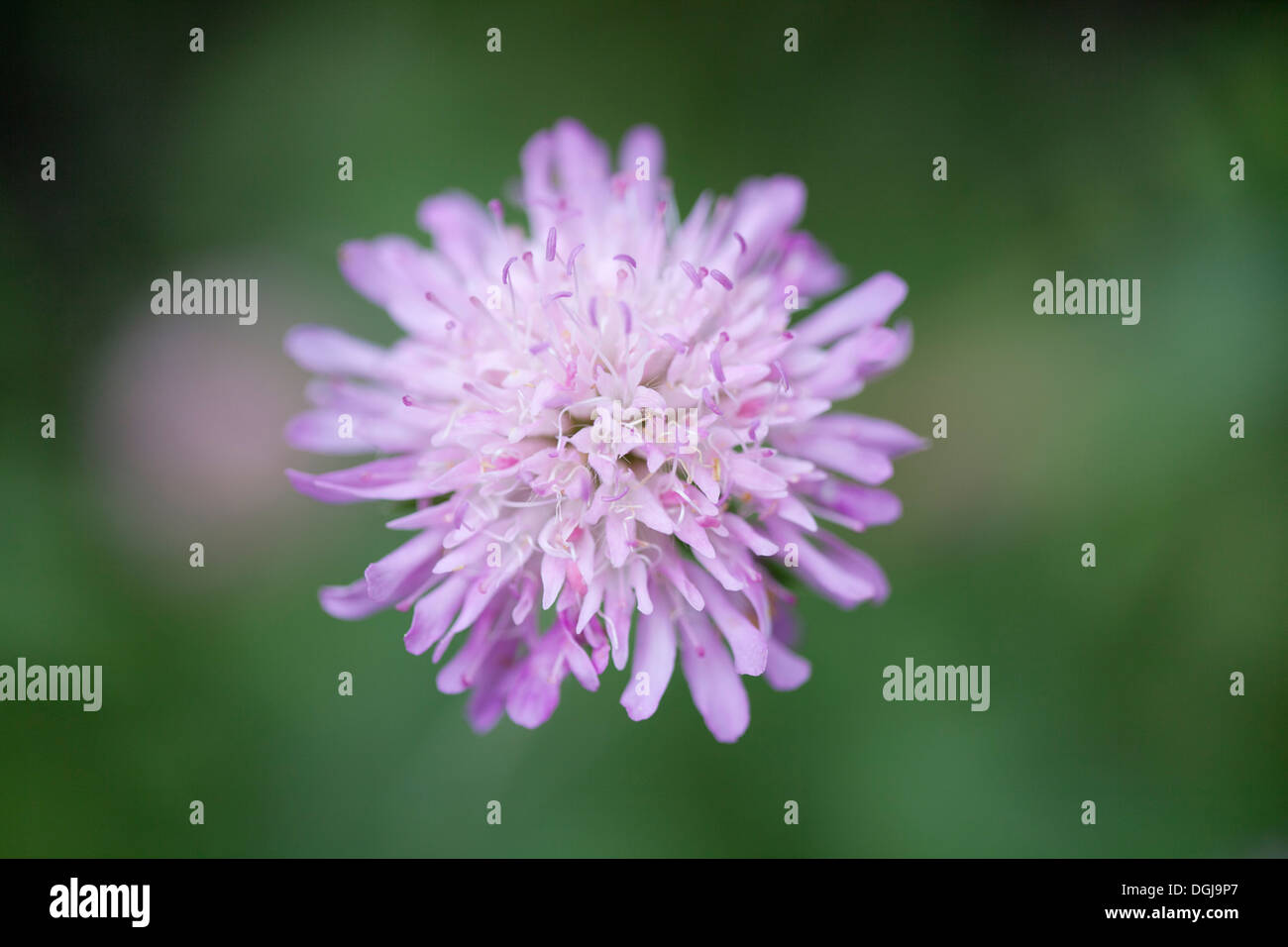 Close up on one Field Scabious flower growing outdoors with shallow depth of field and diffuse green background. - Stock Image