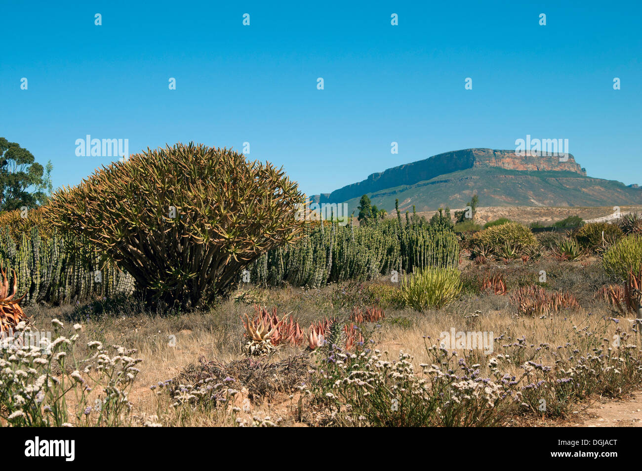 "Garden area of the world's largest succulent nursery ""Kokerboom"", Vanrhynsdorp, Western Cape, South Africa - Stock Image"