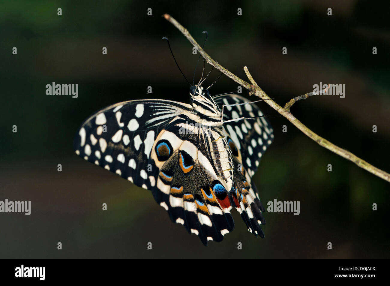 Citrus Swallowtail (Papilio demodocus), tropical butterfly, Afrika, South Africa - Stock Image