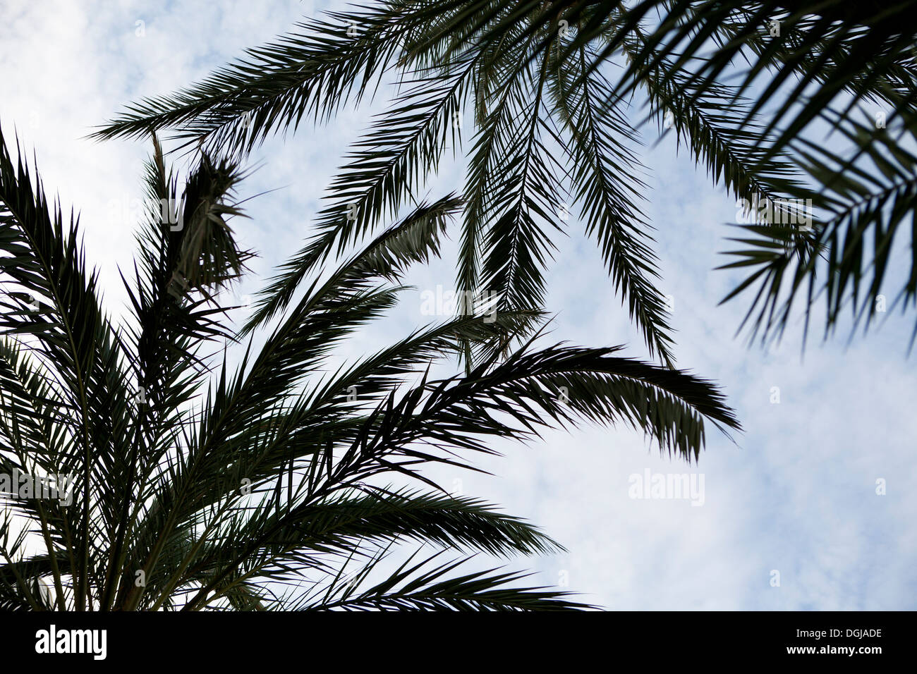 Palm Trees in Majorca - Stock Image