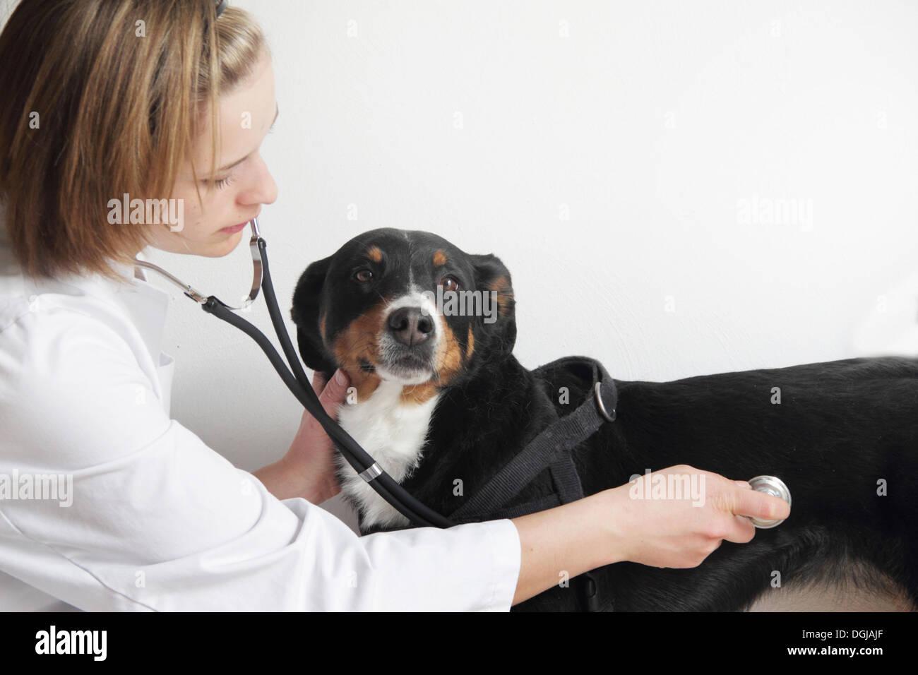 Female veterinarian examining dogs chest - Stock Image