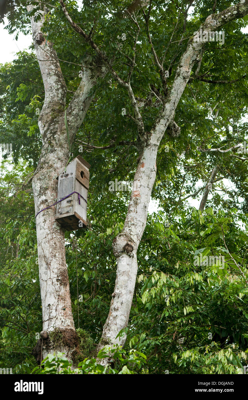 Nesting box for macaws developed by researchers at the Ara-research project, Tambopata Research Center, TRC - Stock Image