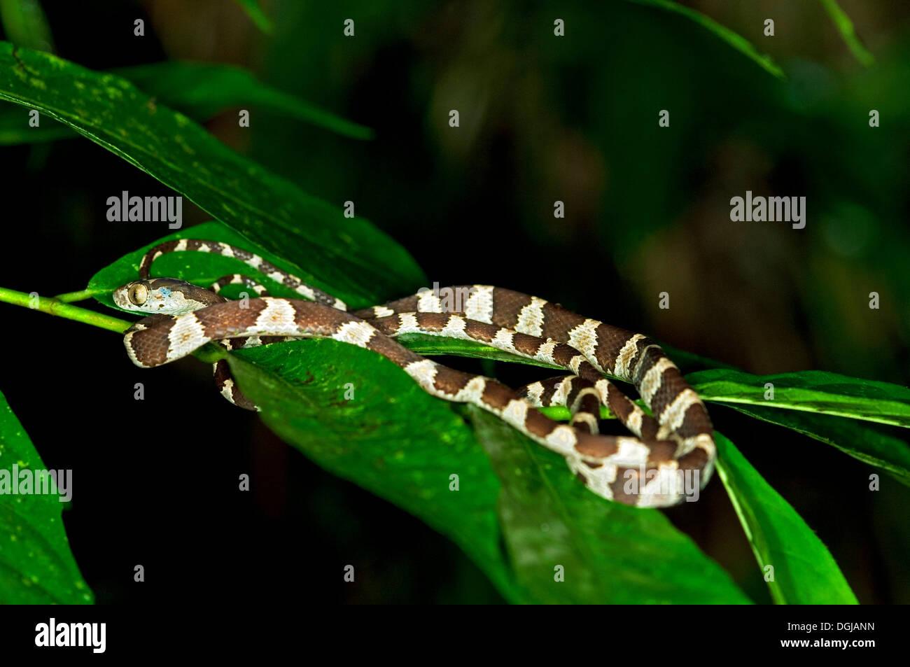 Amazon Basin Tree Snake (Imantodes lentiferus) on leaves, Tambopata Nature Reserve, Madre de Dios Region, Peru - Stock Image