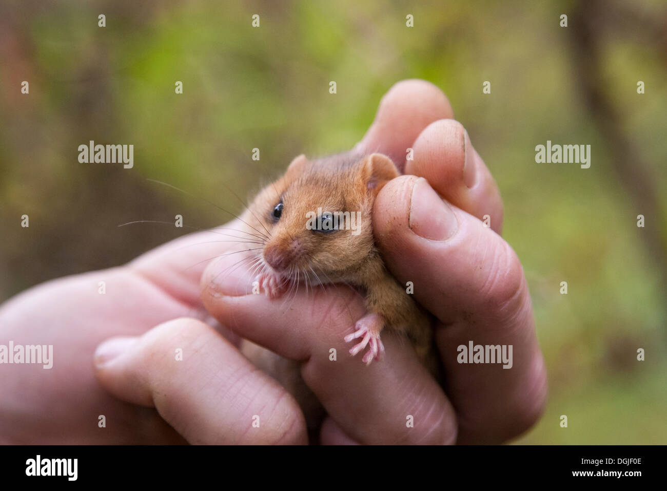 Common Hazel Dormouse (Muscardinus avellanarius) removed from nest box  and held for licenced check, Yorkshire Dales, UK - Stock Image