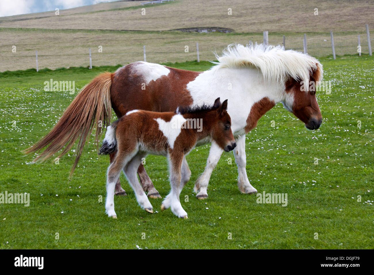 Shetland pony and foal. - Stock Image