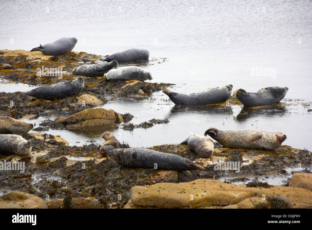 Seals basking on rocks. - Stock Image