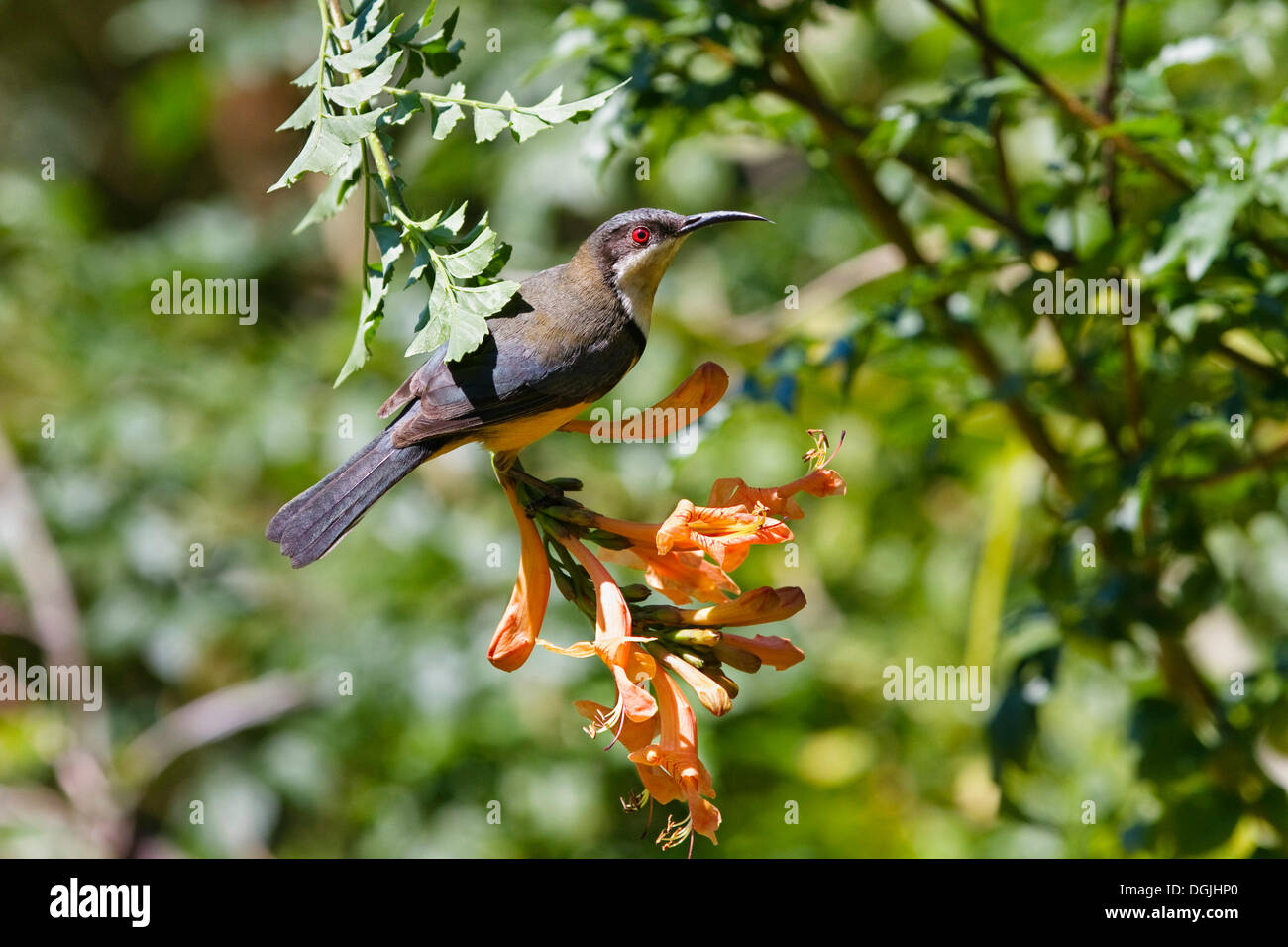 Eastern Spinebill (Acanthorhynchus tenuirostris cairnsensis) on tubular flower, rainforest, Atherton Tablelands - Stock Image