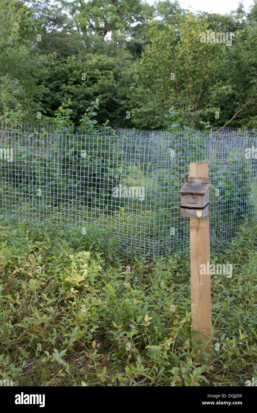 Common Dormouse (Muscardinus avellanarius) man made nest box in regenerating Hazel Coppice Woodland, Yorkshire Dales, UK - Stock Image