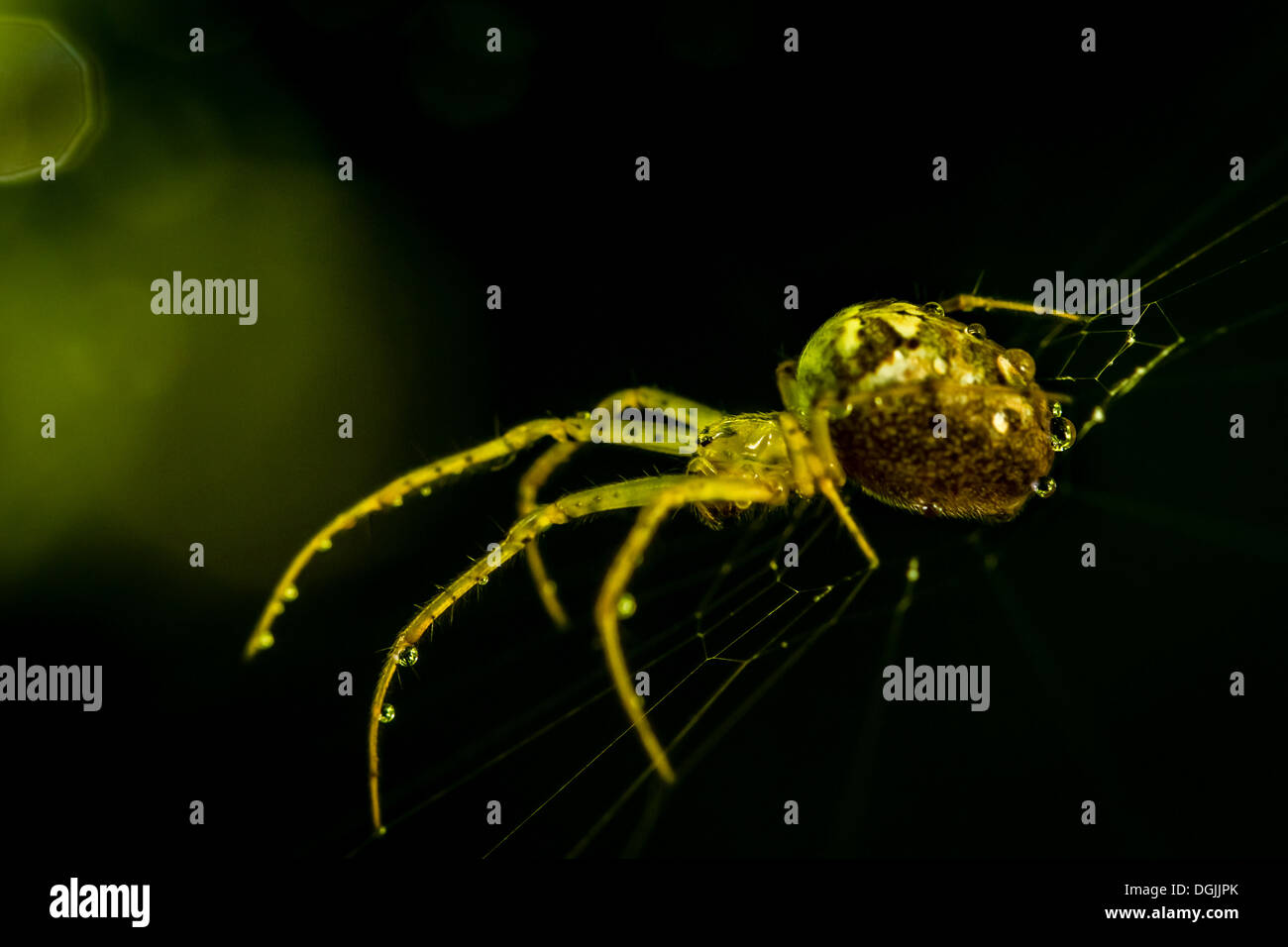 Glowing spider in the dark. Eyes in focus. - Stock Image