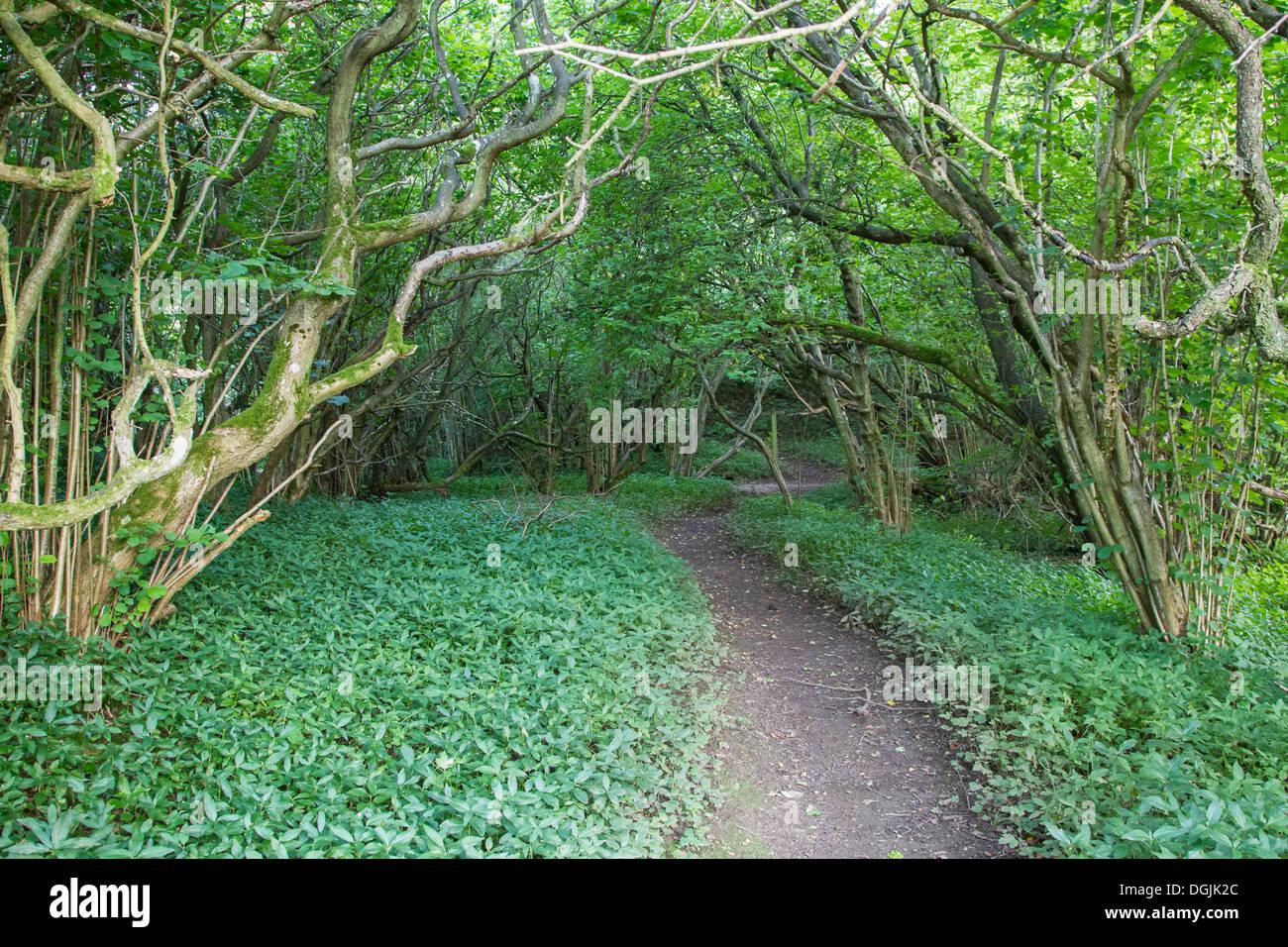 Mature Hazel Coppice Woodland Path, Yorkshire Dales, UK - Stock Image