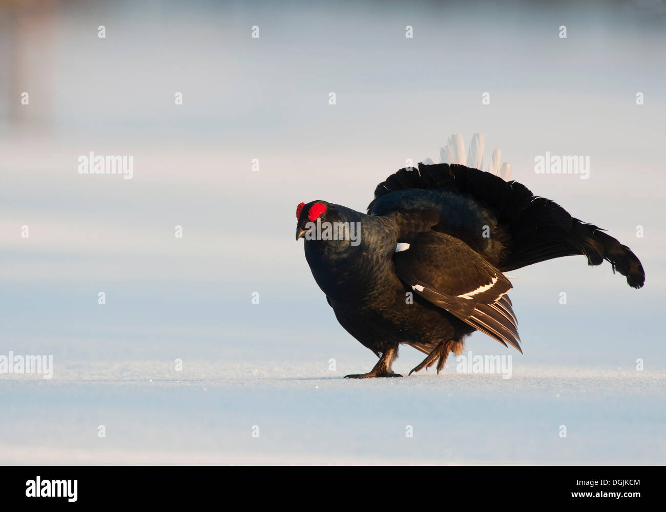 Black grouse, blackgame (Lyrurus tetrix, Tetrao tetrix), male performing the courtship display - Stock Image