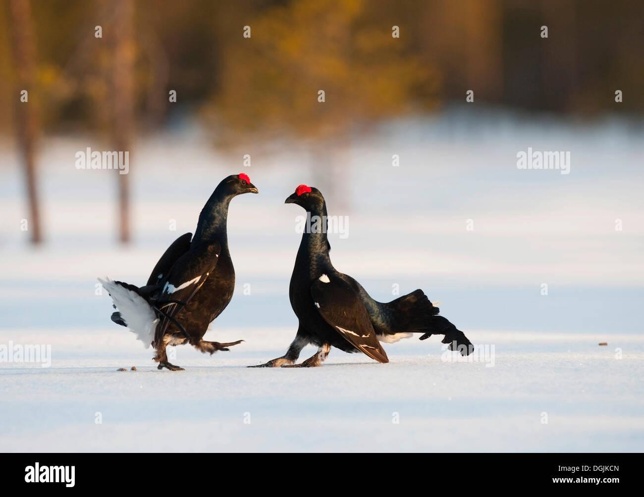 Black grouse, blackgame (Lyrurus tetrix, Tetrao tetrix), males performing the courtship display - Stock Image