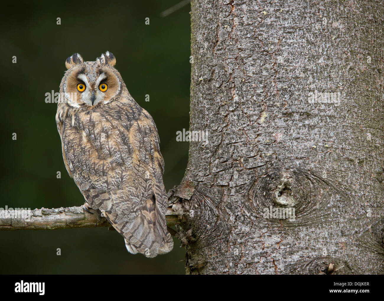 Long-eared Owl (Asio otus), Wittlich, Rhineland-Palatinate, NON EXCLUSIVE USAGE FOR CALENDAR, 2015, TERRITORY: NORTH AMERICA - Stock Image