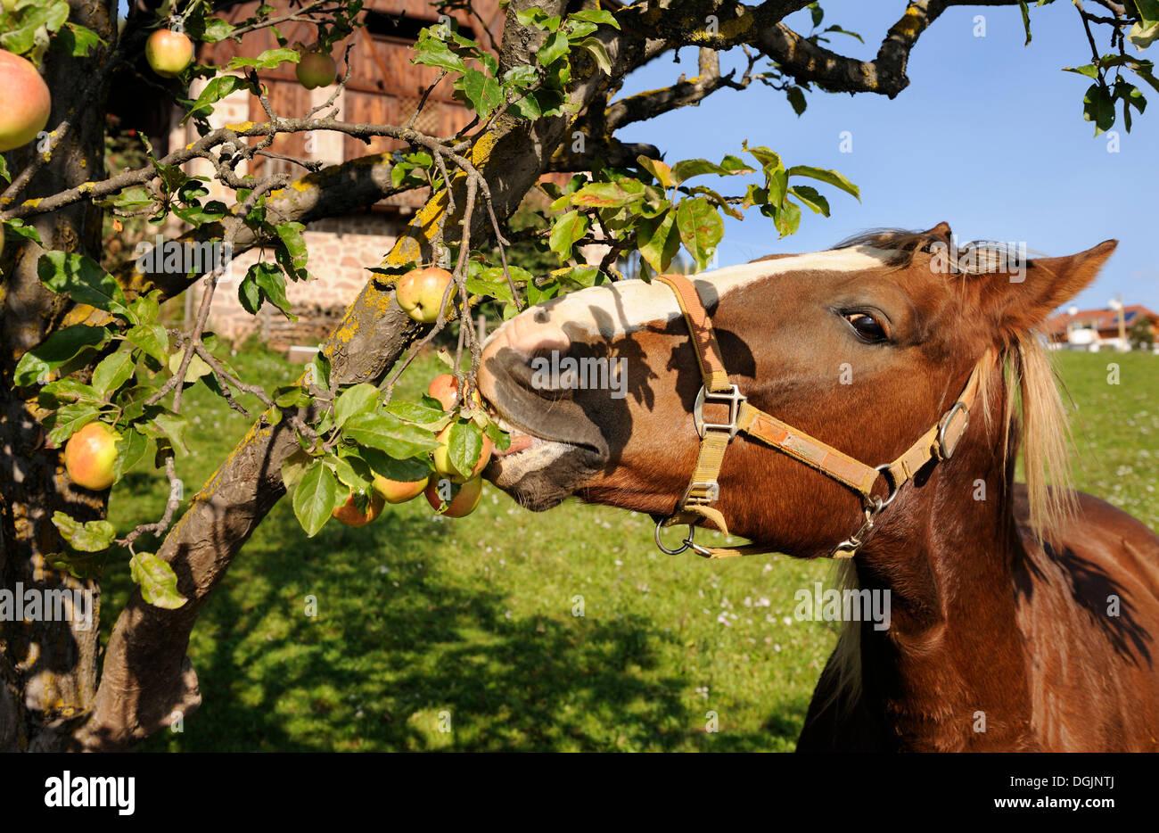 Horse eating apples, Bolzano, South Tyrol, Tyrol, Italy, Europe - Stock Image