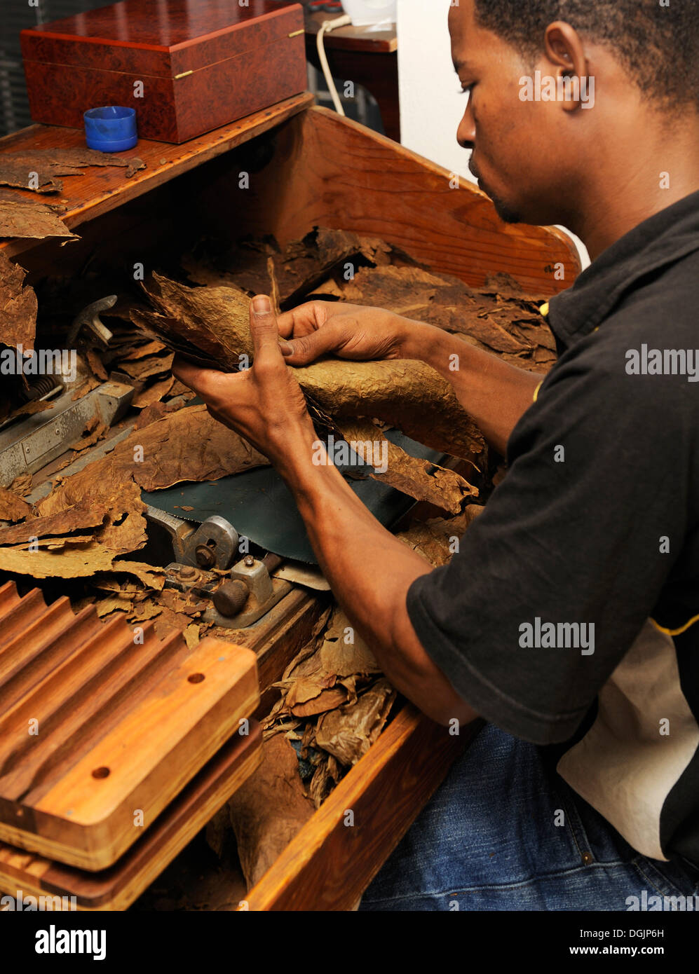 Young man sorting tobacco leaves, cigar factory in Punta Cana, Dominican Republic, Caribbean - Stock Image