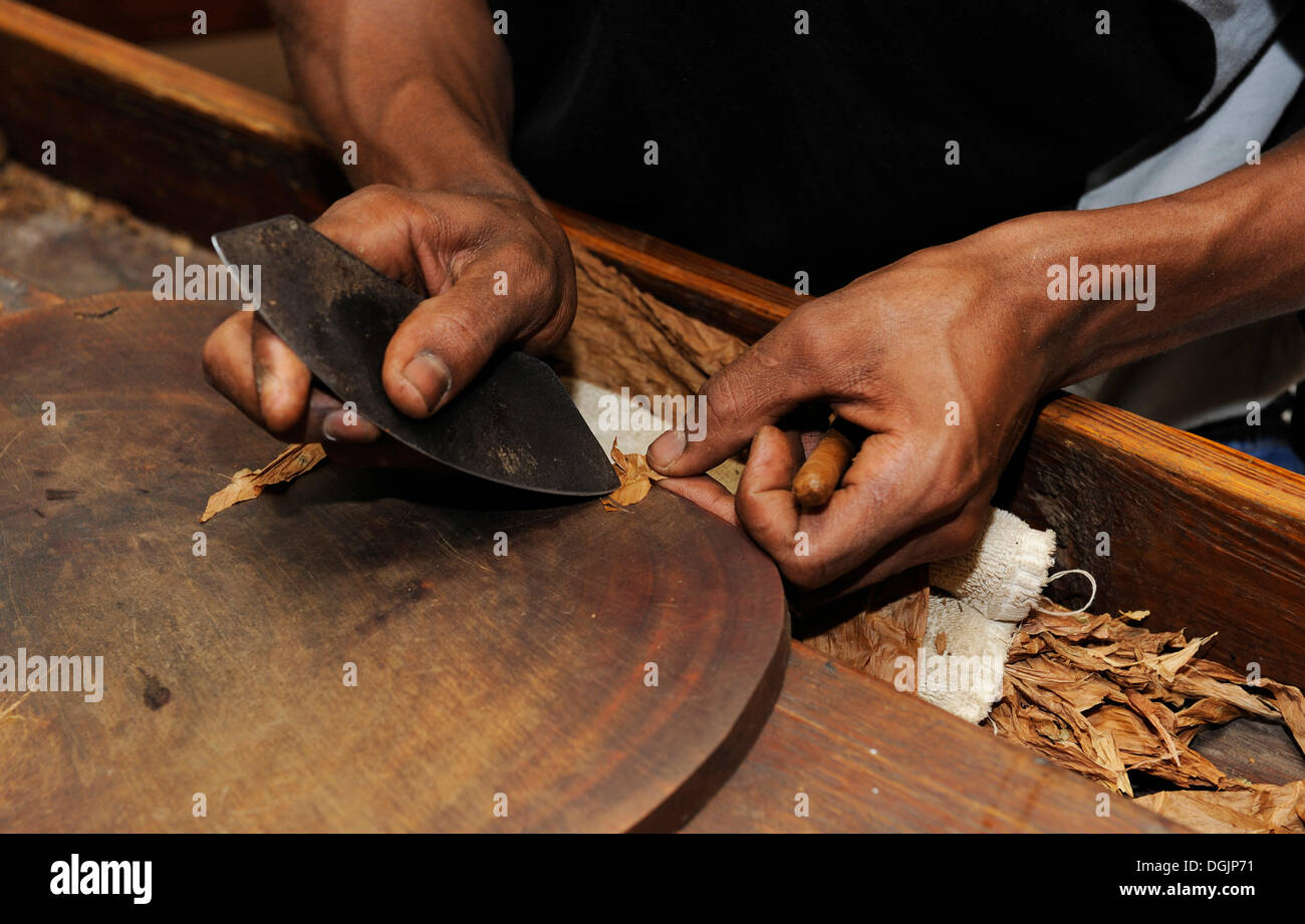 Man cutting the wrapper of a cigar, cigar factory in Punta Cana, Dominican Republic, Caribbean - Stock Image