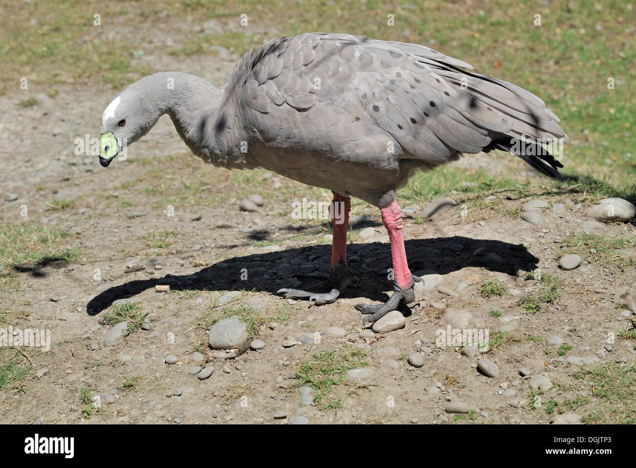Cape Barren Goose (Cereopsis novaehollandiae), Willowbank Wildlife Reserve, Christchurch, South Island, New Zealand Stock Photo