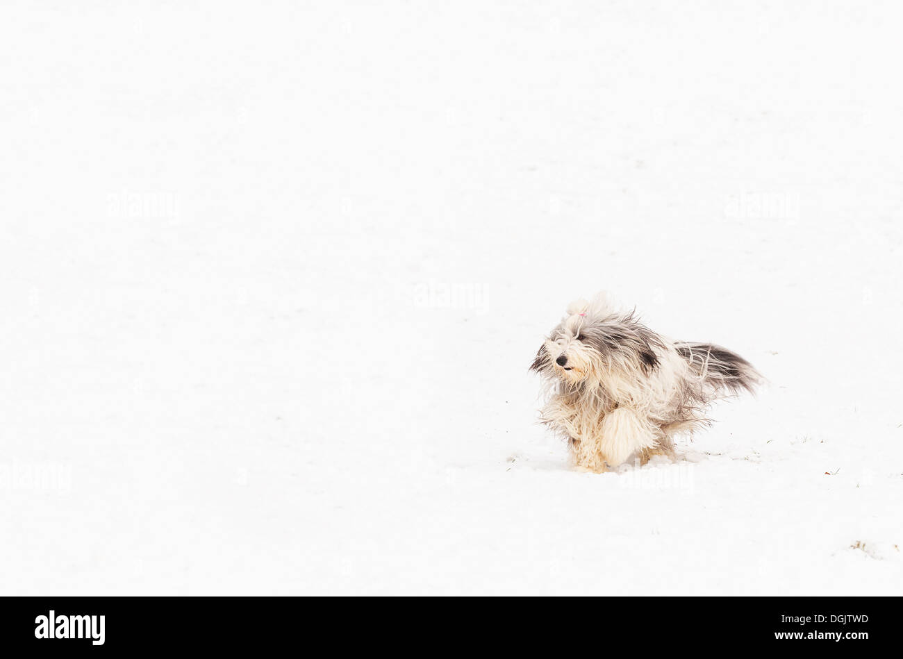 A bearded collie running through snow. - Stock Image