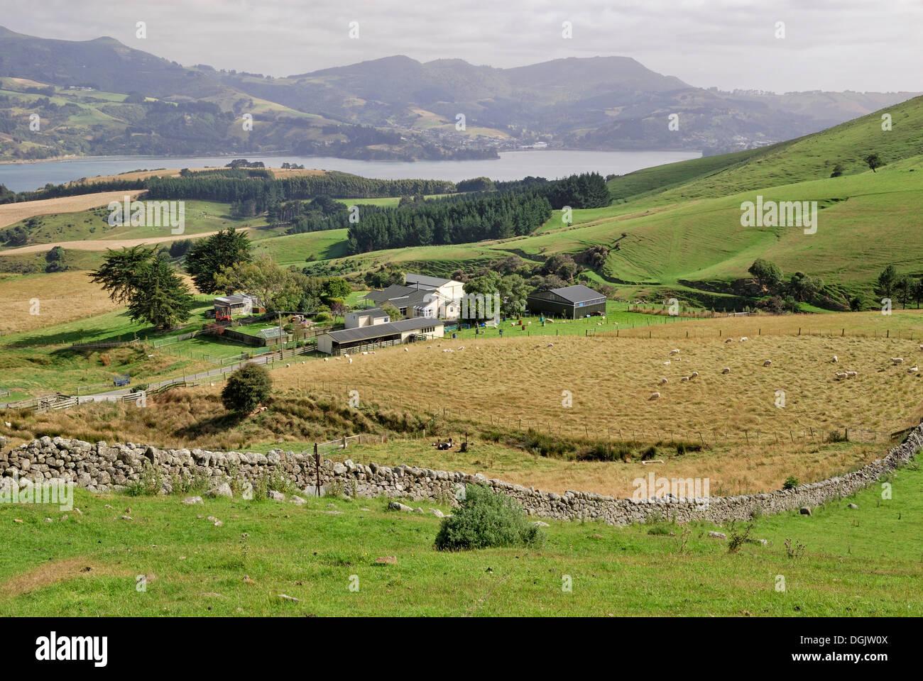 Sheep farm, Otago Peninsula, Castlewood Road, Dunedin, South Island, New Zealand Stock Photo