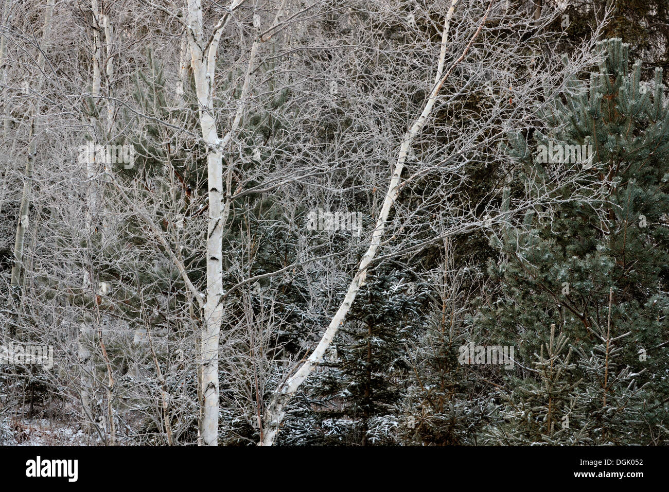 Birches and spruces with a dusting of snow in late autumn Greater Sudbury Ontario Canada - Stock Image