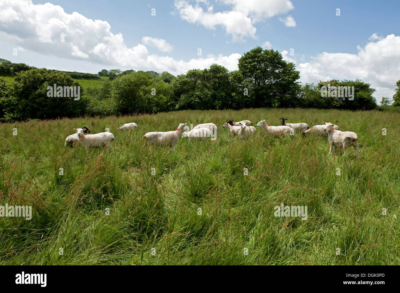 A mixed flock of ewe sheep in a meadow of long grass on a fine summer day in Devon - Stock Image