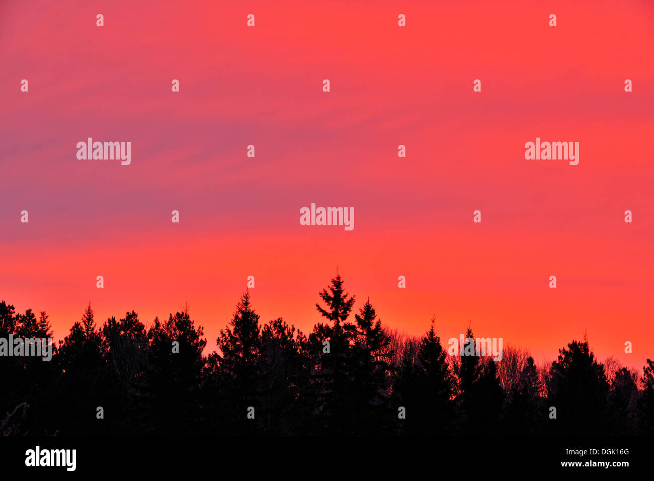 Sunrise skies over frosted spruces and alders Greater Sudbury Ontario Canada - Stock Image