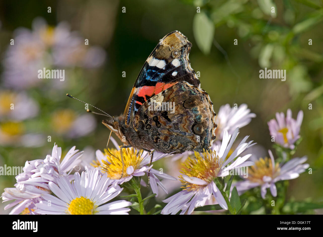 Red admiral butterfly, Vanessa atalanta, on a michaelmas daisy, Aster spp., flower in autumn - Stock Image