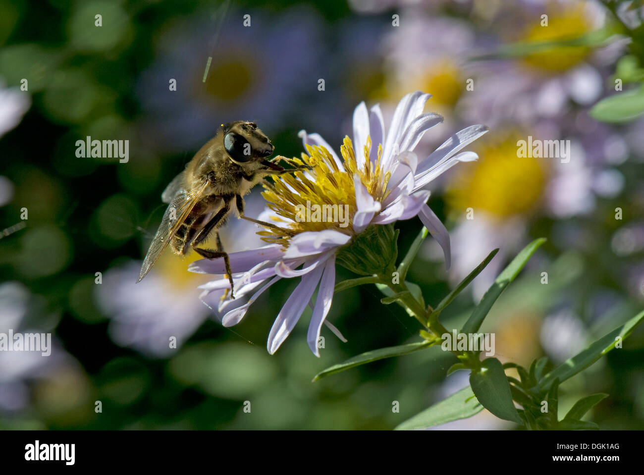 Drone fly, Eristalis tenax, taking nectar from a michaelmas daisy, Aster spp., flower in autumn - Stock Image