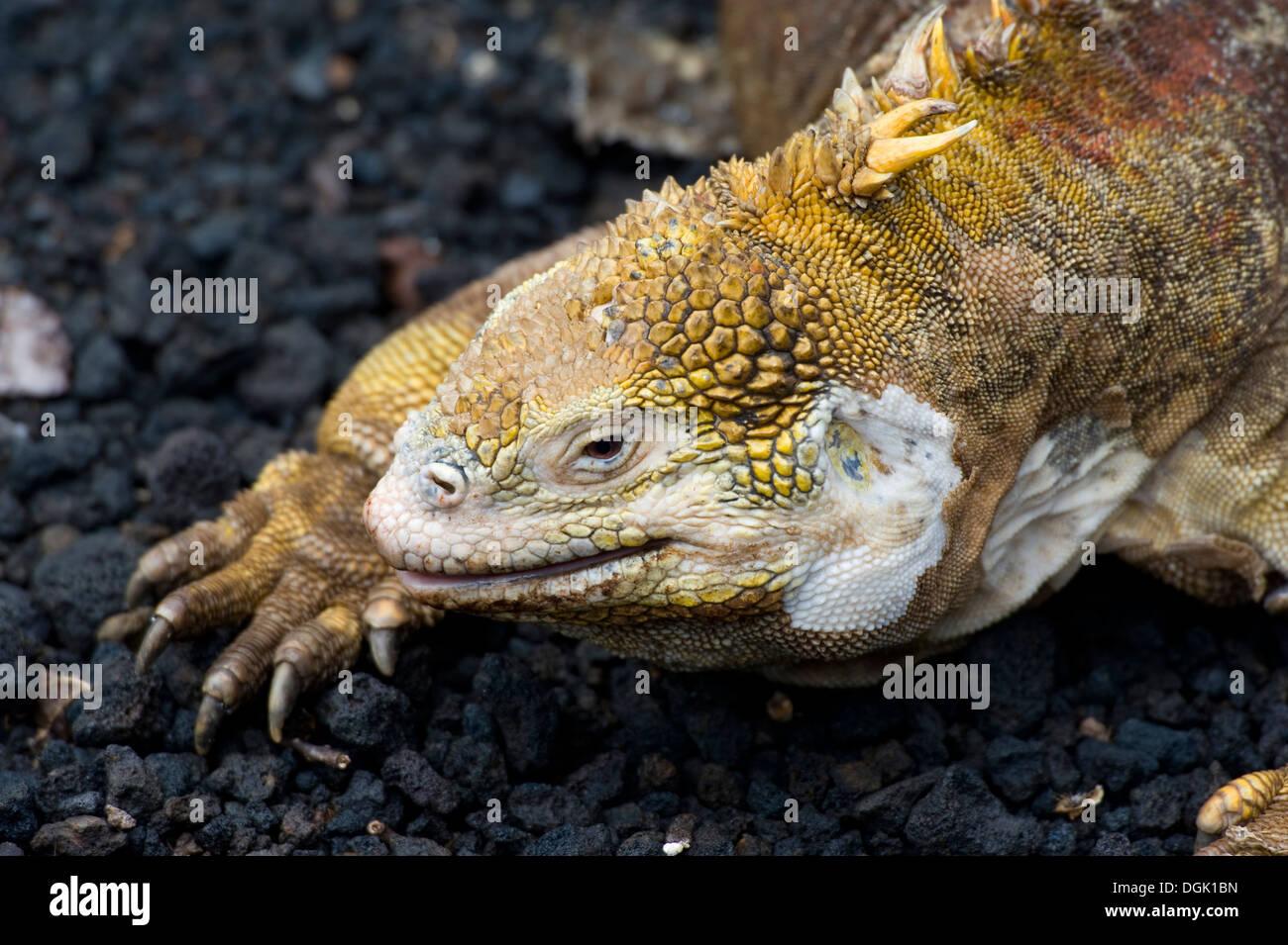 Galapagos islands island South America Ecuador travel tourism adventure Santa Cruz Island Iguana lizard Stock Photo
