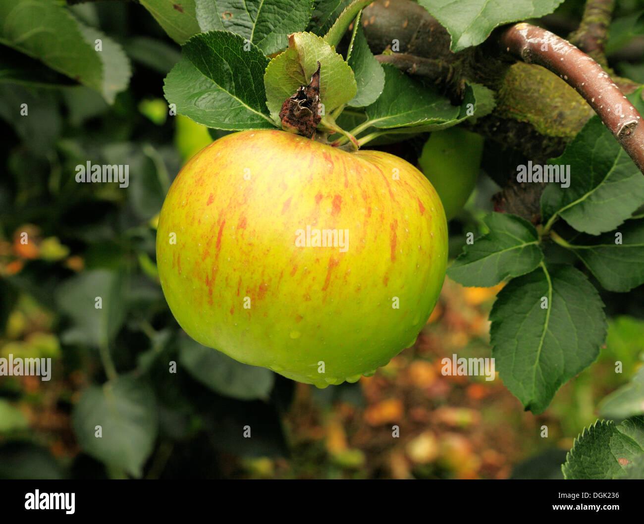 Apple 'Bramley's Seedling', syn. 'Bramley', malus domestica apples variety varieties growing on tree - Stock Image
