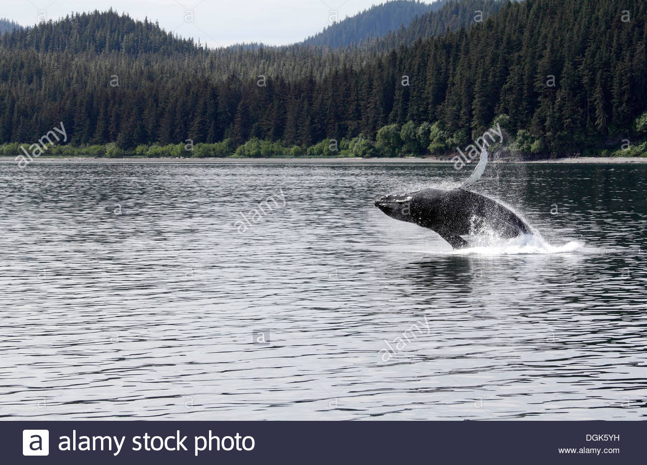 Humpback whale breaching off Icy Straits Point in Alaska. - Stock Image