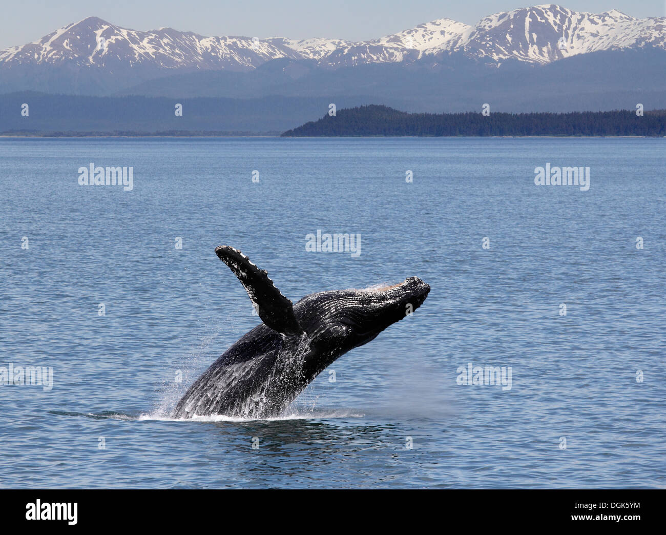 Humpback whale breaching off Icy Straits Point in Alaska. Stock Photo