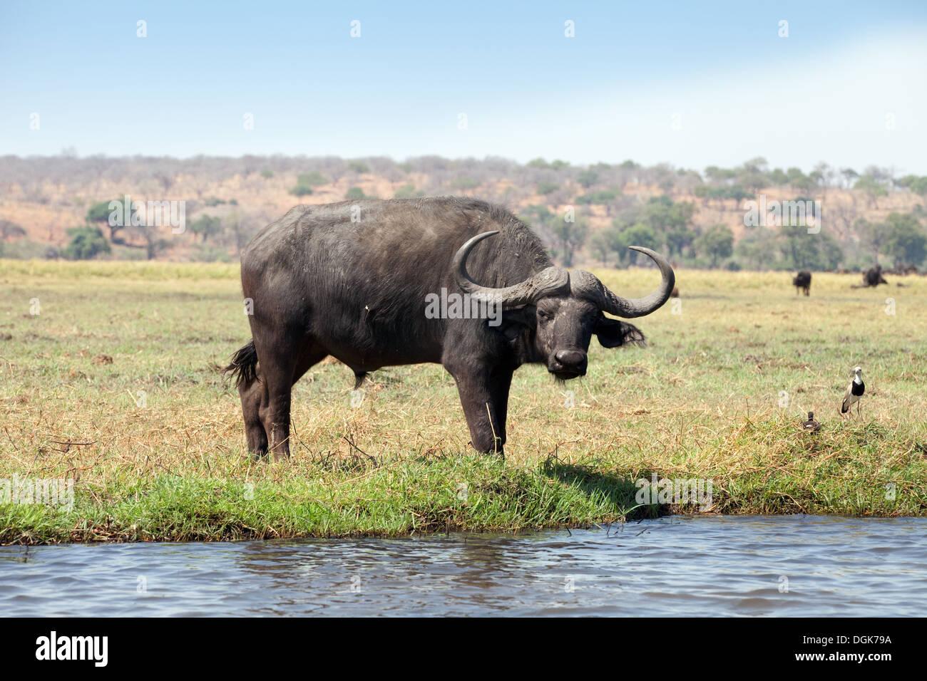 Africa buffalo - Male African buffalo bull, ( Syncerus caffer ), Chobe National Park, Botswana Africa - Stock Image