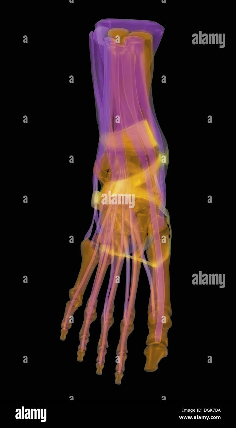 Bones Of A Human Foot With Muscles And Tendons Stock Photo 61888494