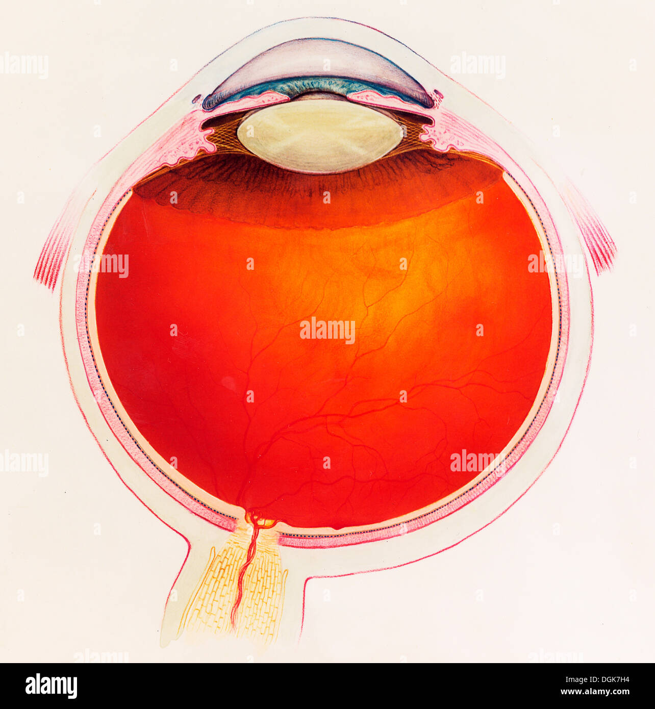 Human Eye Diagram Stock Photos Images Alamy Diagrammatic Cross Section Of The Image