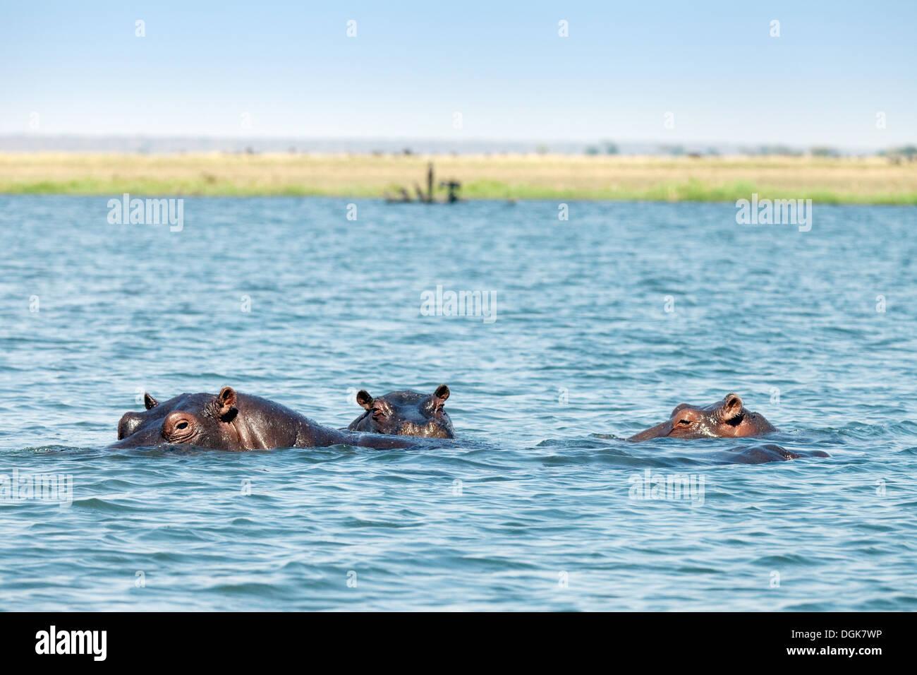 Hippos ( Hippopotamus amphibius ) swimming in the Chobe River, Chobe national Park, Botswana, Africa - Stock Image