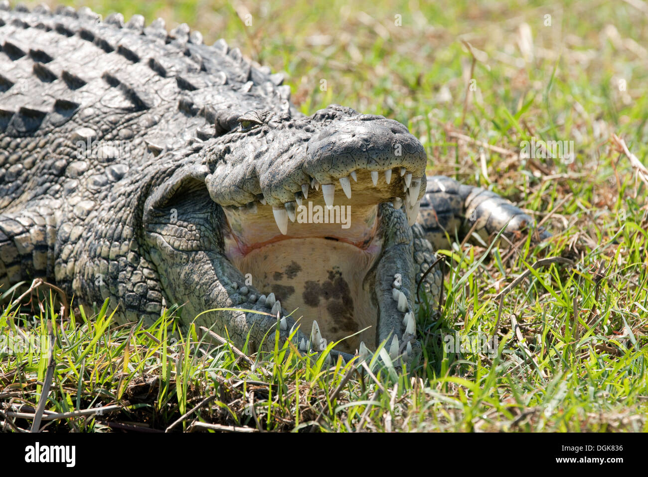 Nile crocodile ( Crocodylus niloticus ) with its mouth open to regulate temperature, Chobe National Park, Botswana Africa - Stock Image