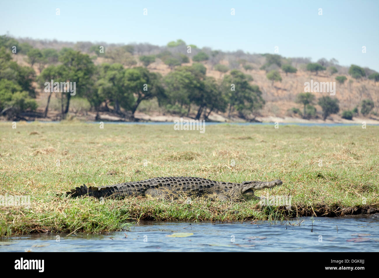 Nile Crocodile on the banks of the Chobe river, Chobe National Park, Botswana, Africa - Stock Image