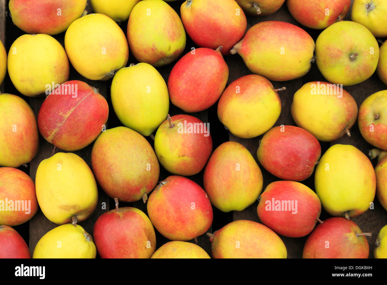 Apple 'Oaken Pin' in farm shop display, picked harvested apples tray named variety varieties - Stock Image