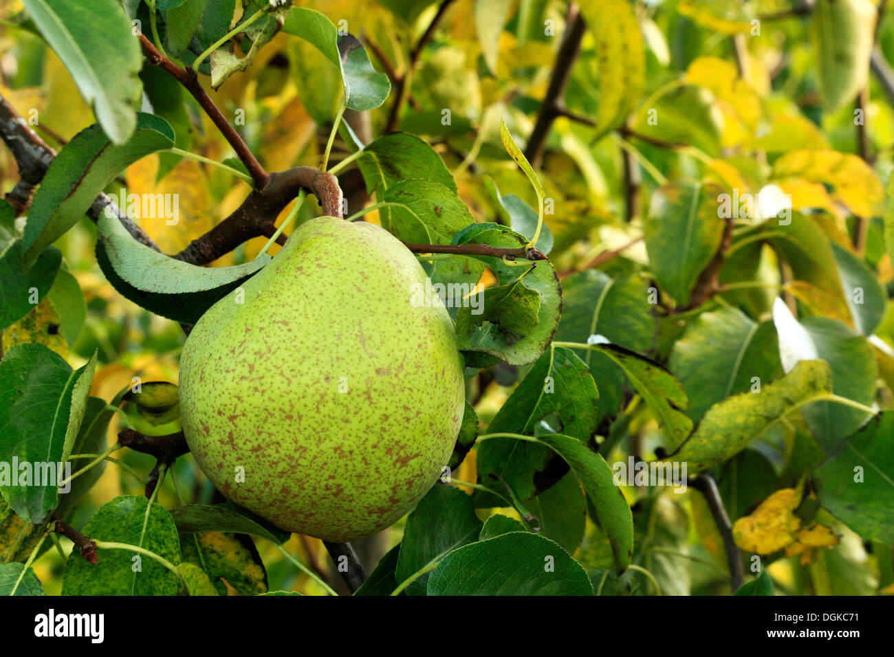 Pear 'Doyenne du Comice', Pyrus communis, named variety growing on tree, pears - Stock Image
